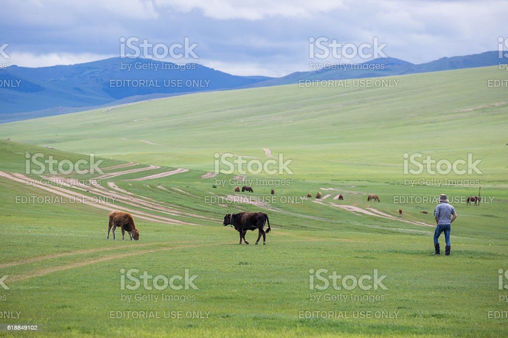 Mongolia: Herder and his Cattle stock photo