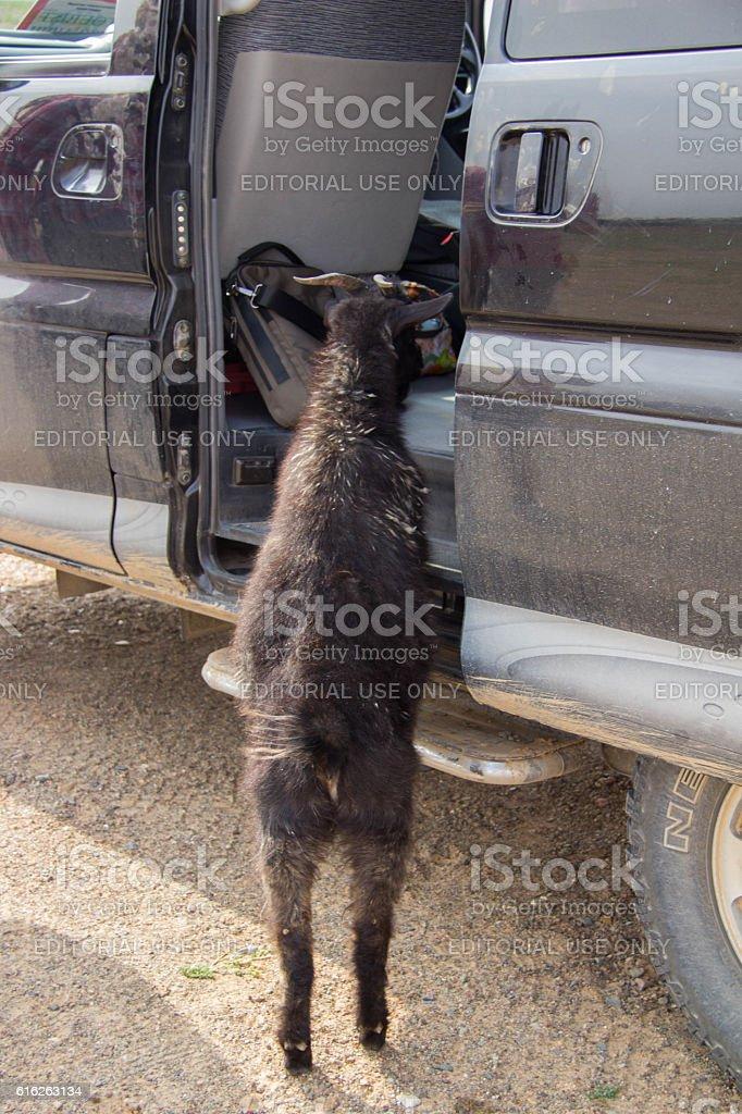 Mongolia: Noisy Goat stock photo