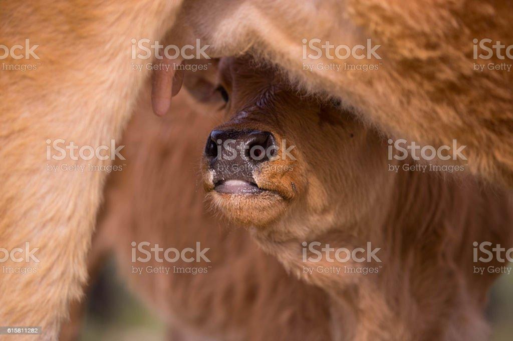 Mongolia: Nursing Calf stock photo