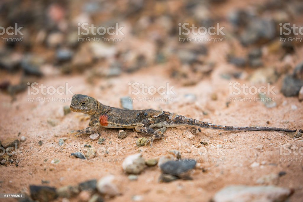 Mongolia: Tuva Toad-Head Agama stock photo