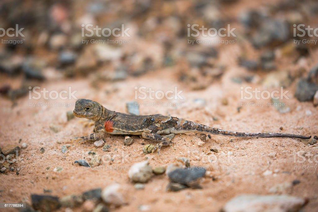 Mongolia: Tuva Toad-Head Agama stock photo