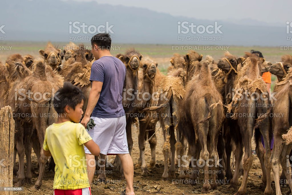 Mongolia: Young Bactrian Camels stock photo