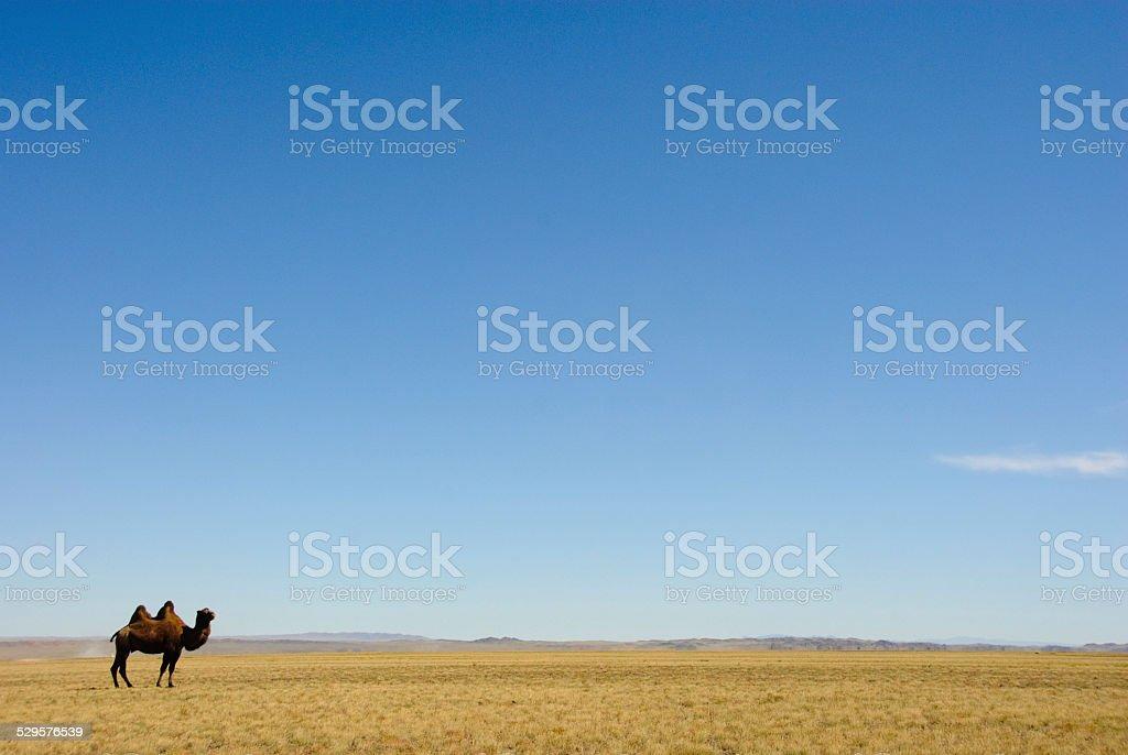 Mongolian Camel royalty-free stock photo