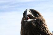 Mongolian eagle