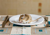 Mongolian gerbil eat beans on the table