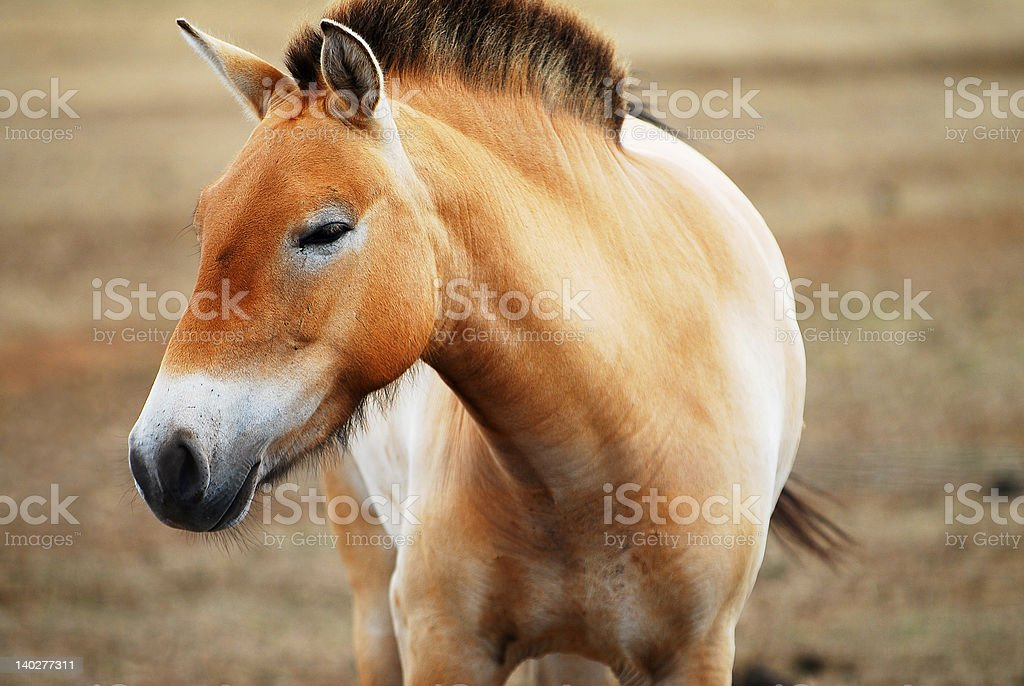 Mongolian wild Przewalski horse royalty-free stock photo