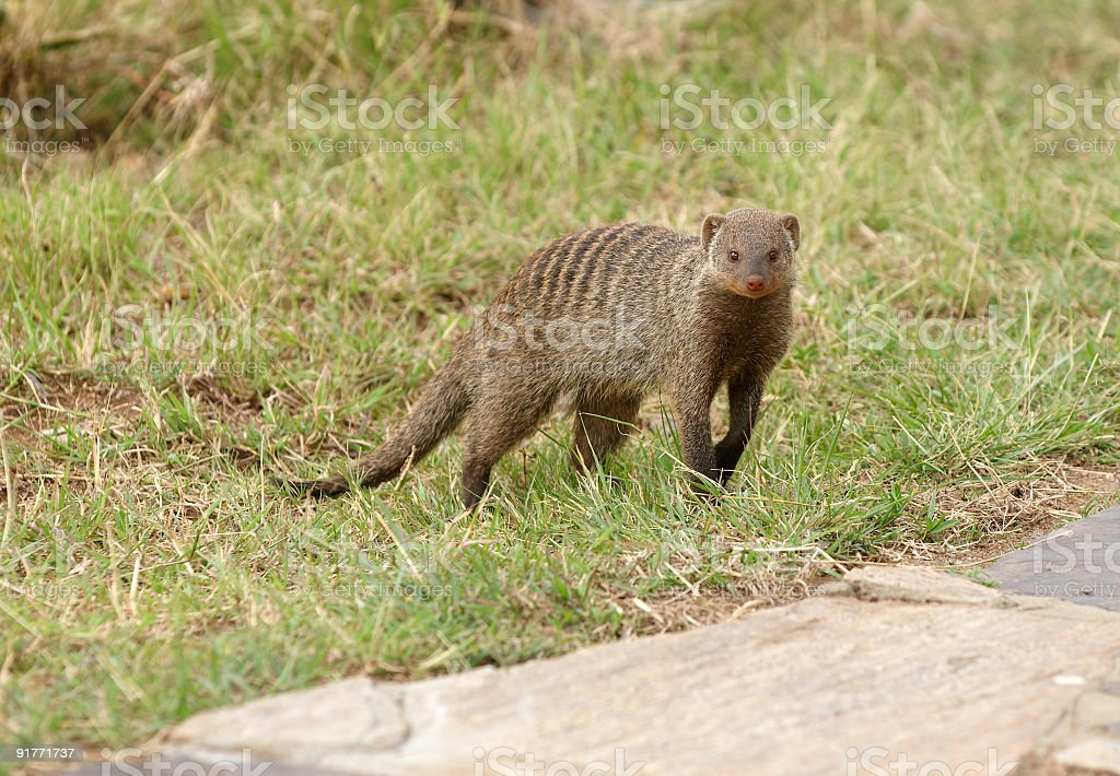 Mongoose - african snake`s hunter stock photo