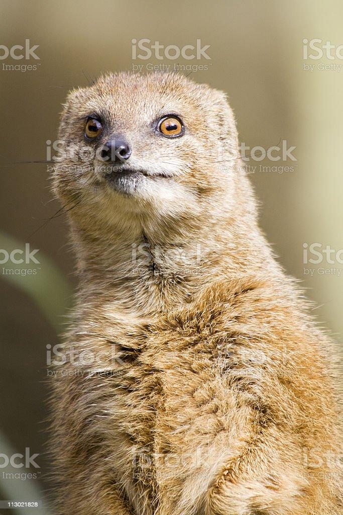 mongoose close-up stock photo