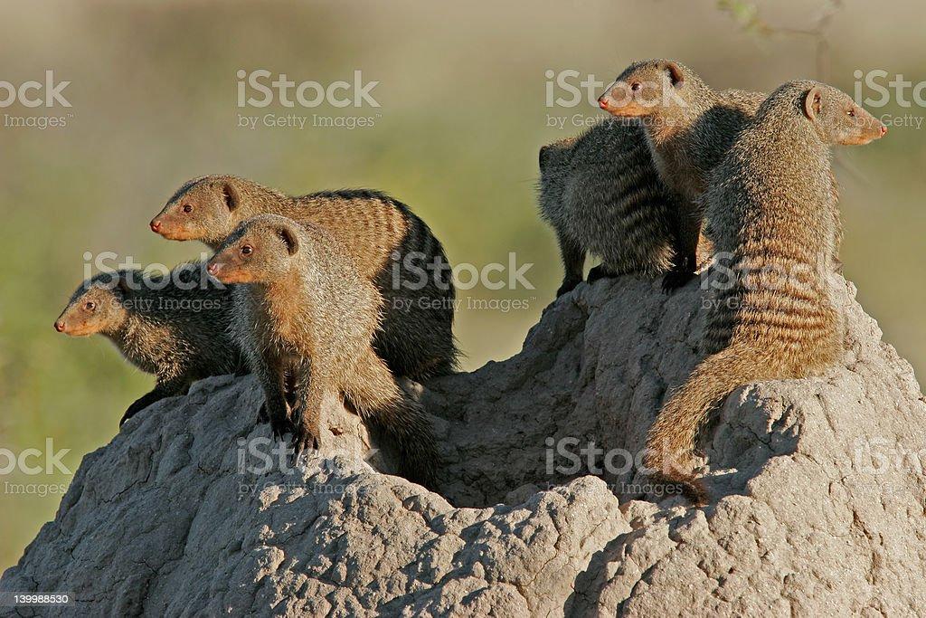 Mongoose family royalty-free stock photo