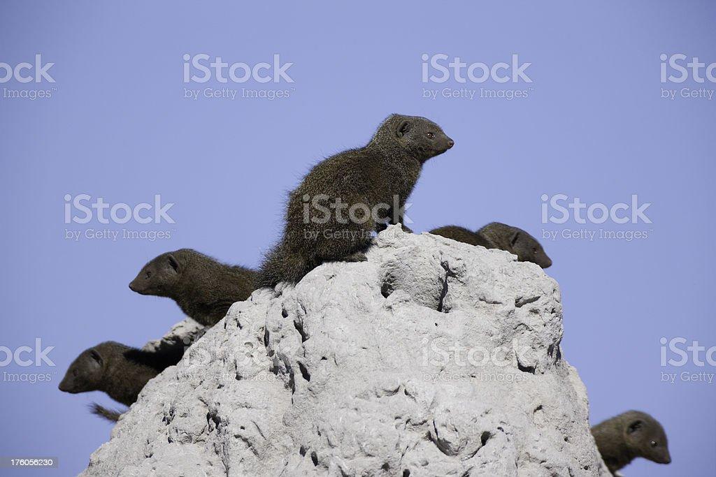 Mongoose Family stock photo