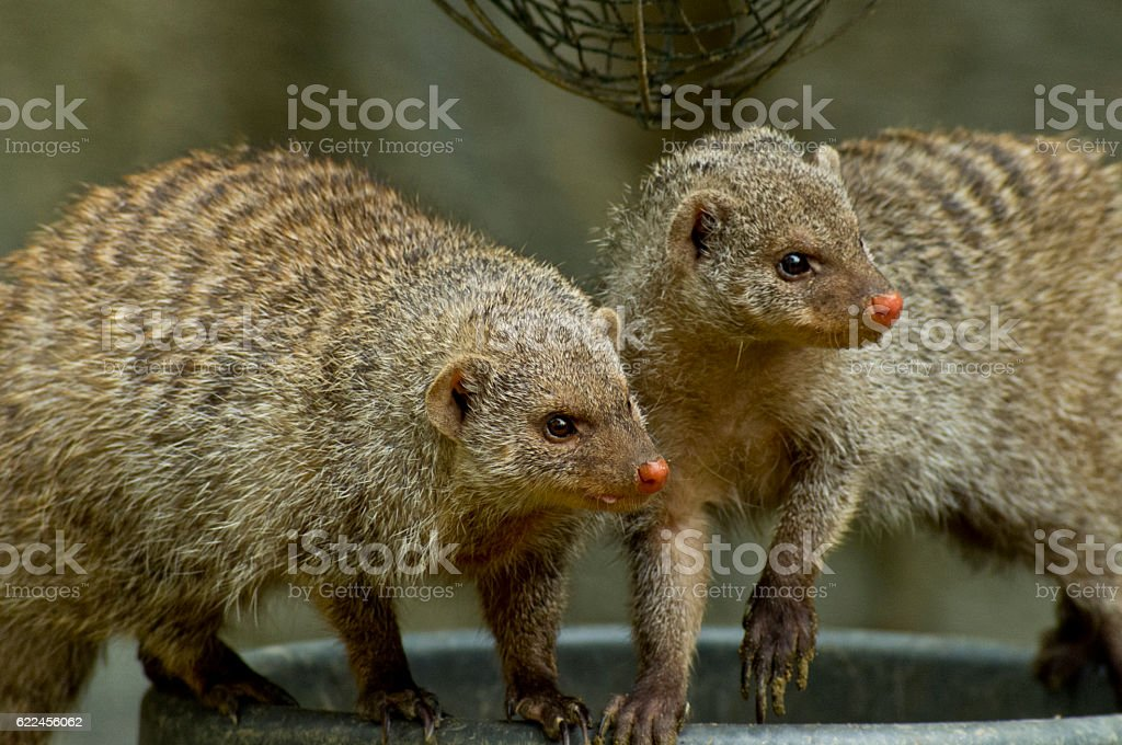 Mongoose group stock photo