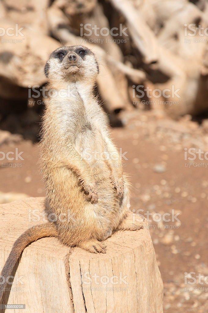 Mongoose stock photo