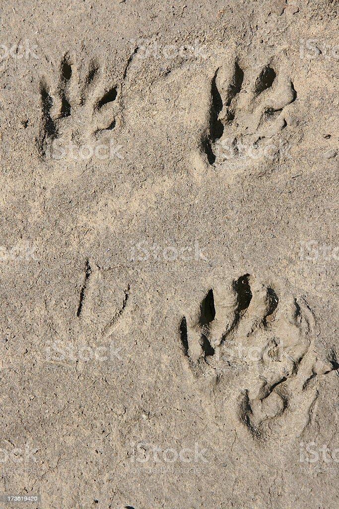 mongoose tracks royalty-free stock photo