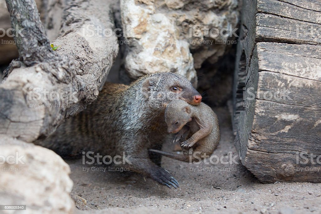 Mongoose with child stock photo