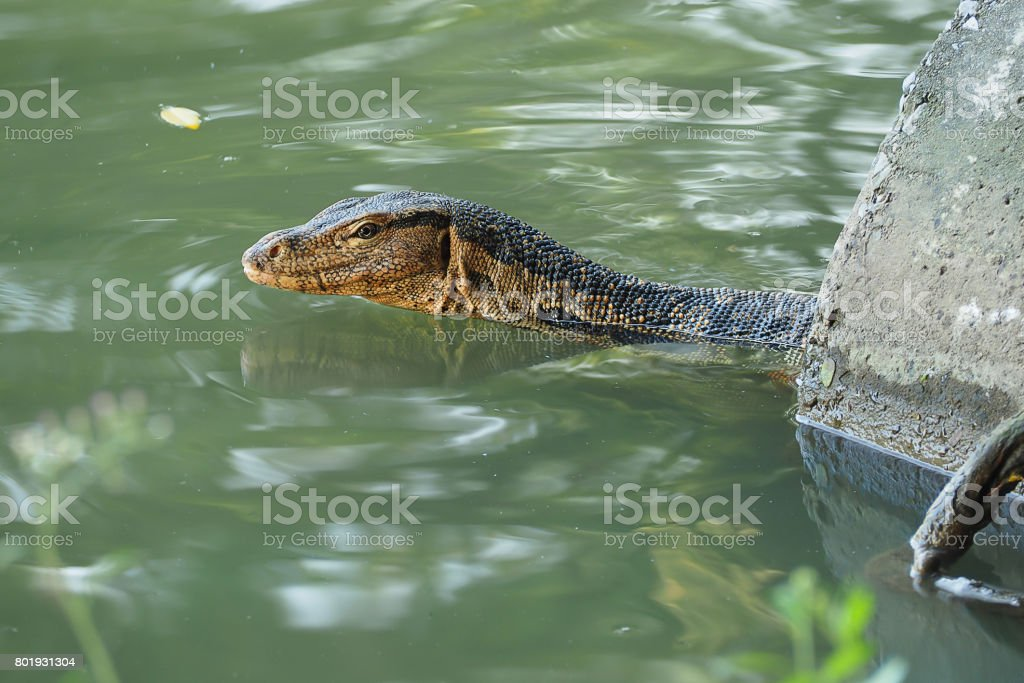 Monitor Lizard in river stock photo