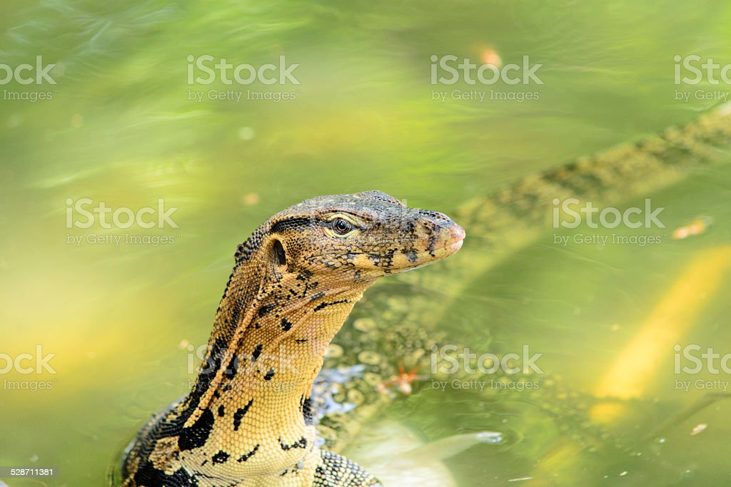 Monitor lizard in the pond stock photo
