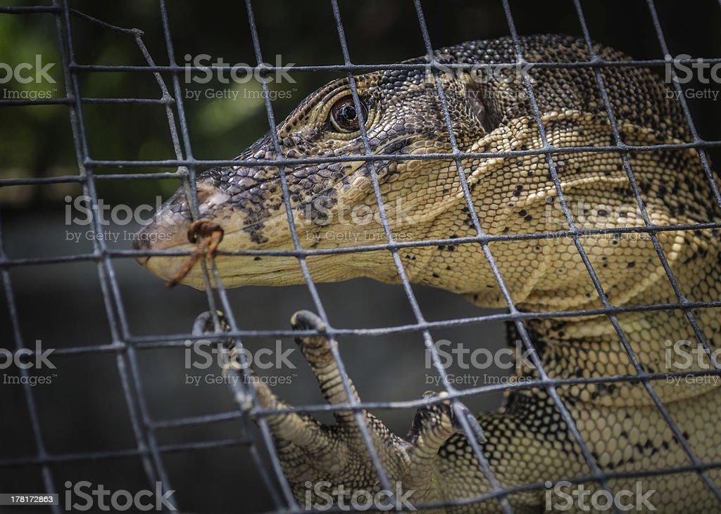 Monitor lizard (varanus salvator) stock photo