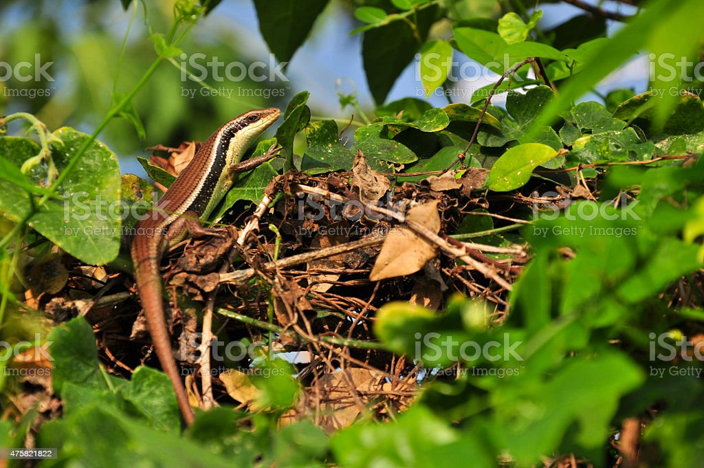 Monitor Lizard - Varanus on tree stock photo