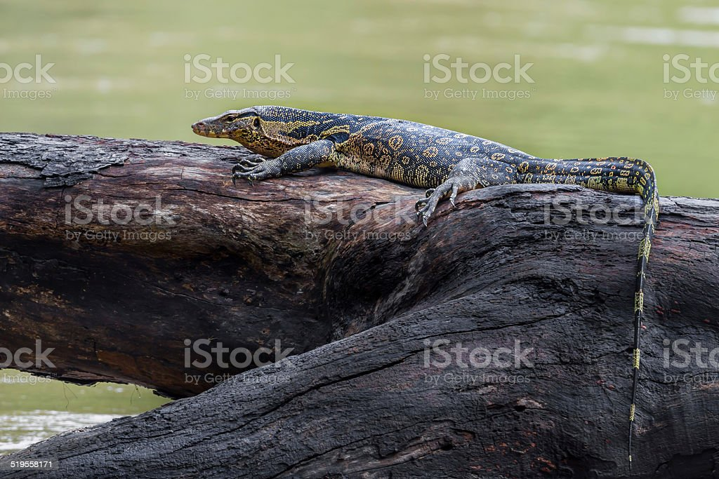 Monitor lizards(Varanus varius) stock photo