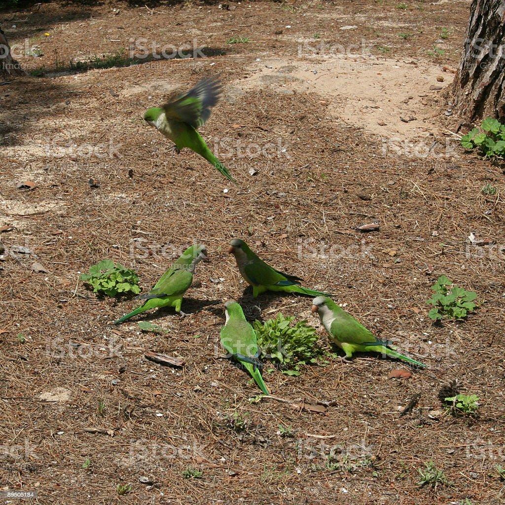 Monk Parakeet / Mönchssittich (Myiopsitta monachus) royalty-free stock photo