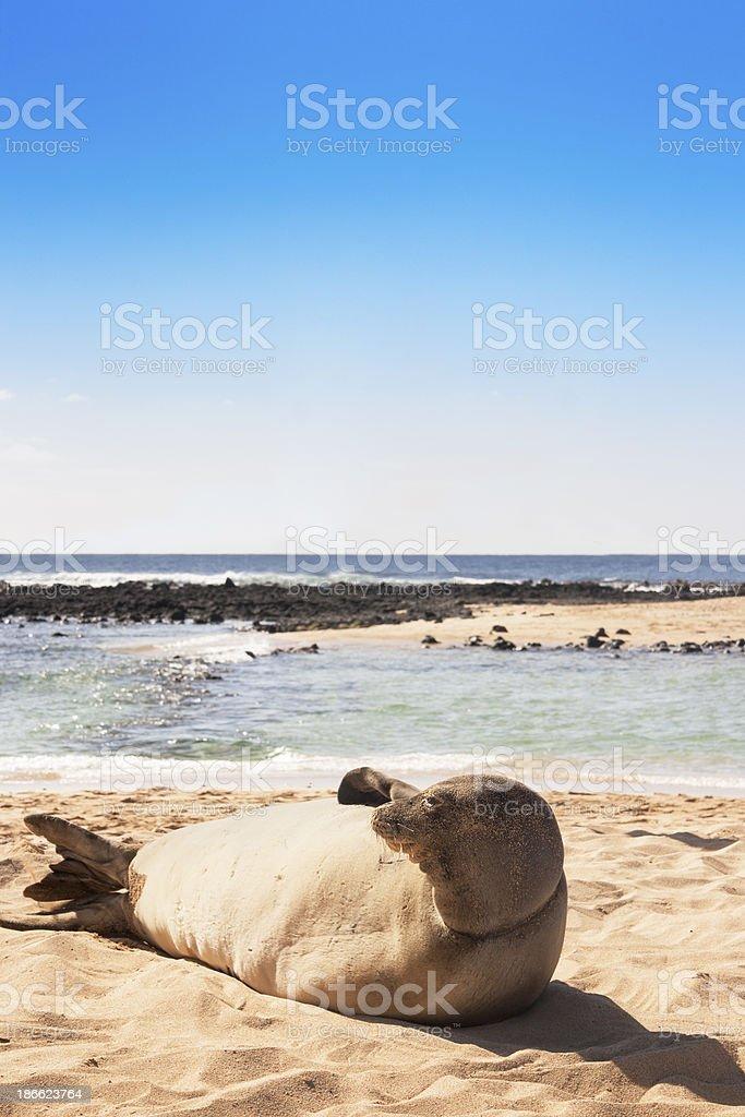 Monk Seal Waking Up on Sand, Poipu Beach, Kauai, Hawaii royalty-free stock photo