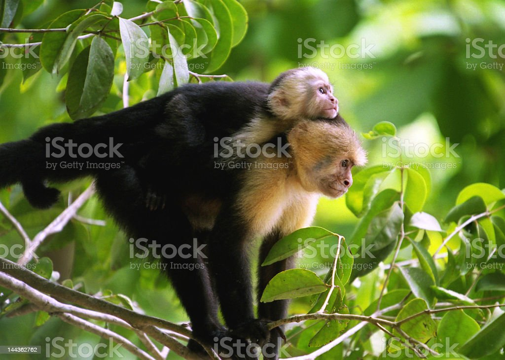 Monkey and baby monkey on branch royalty-free stock photo