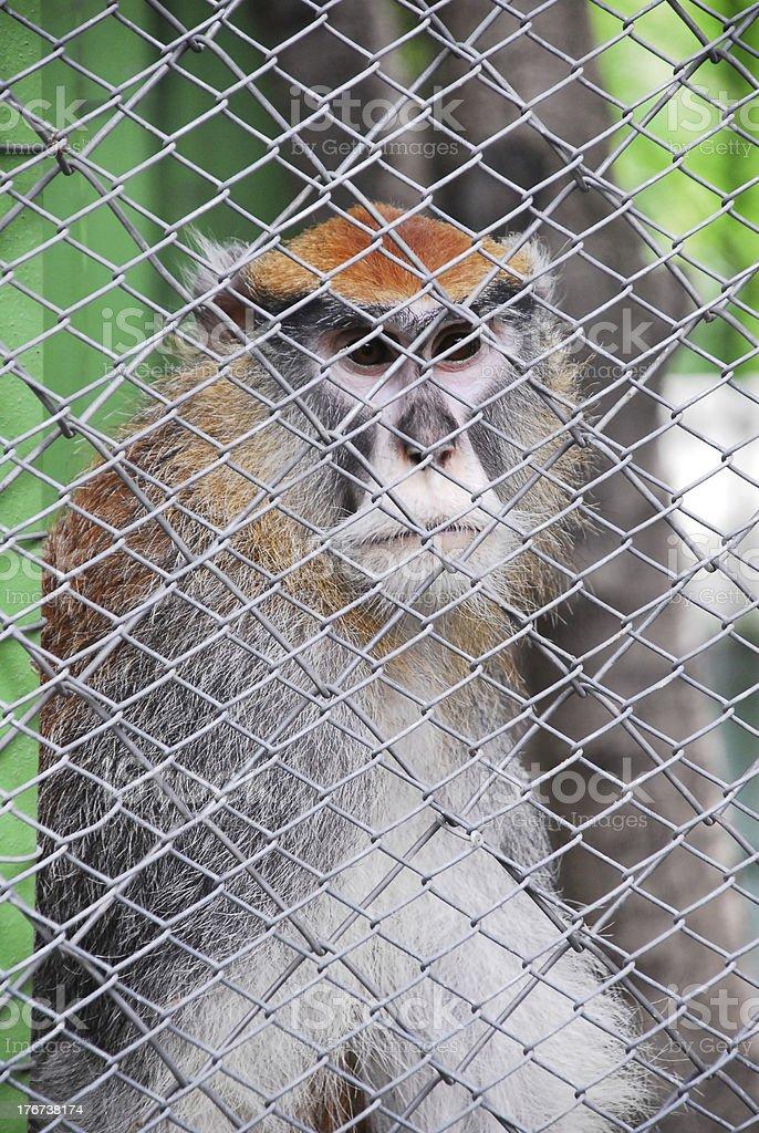 Monkey and captivity royalty-free stock photo