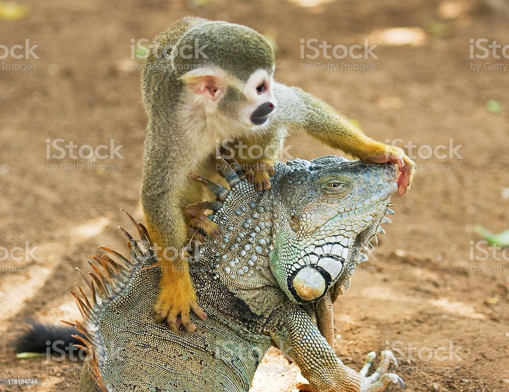 Monkey and iguana royalty-free stock photo