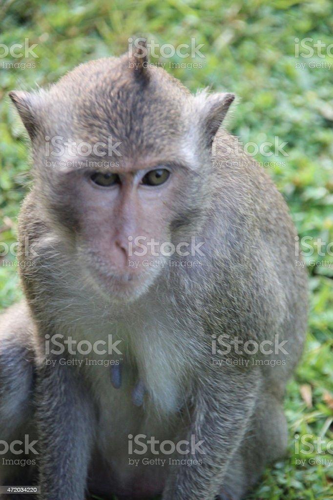 Monos en Angkor Wat, Camboya foto de stock libre de derechos