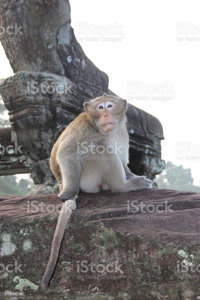 Monos en el templo de Angkor Wat, Camboya foto de stock libre de derechos