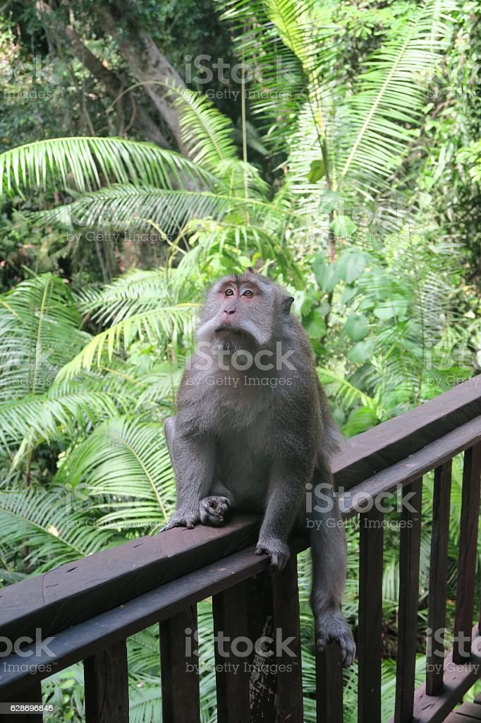 Monkey at the monkey forest, Bali stock photo