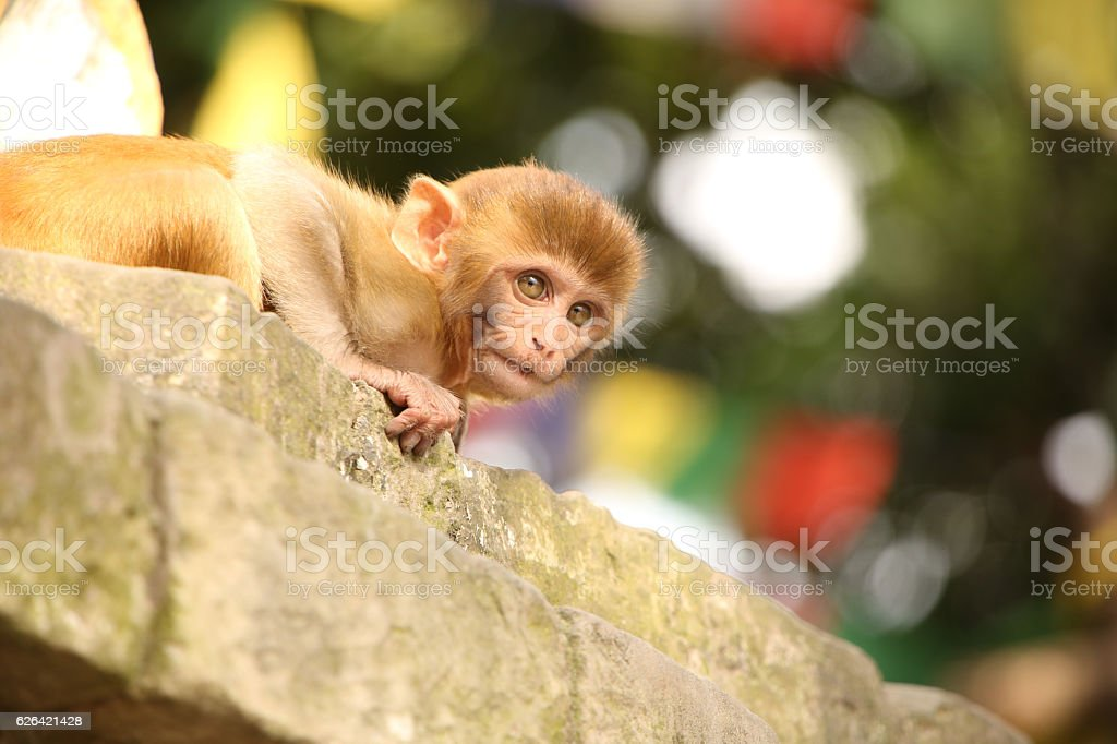 Monkey at the Monkey temple, Swayambhu Nath temple, Kathmandu, Nepal. stock photo