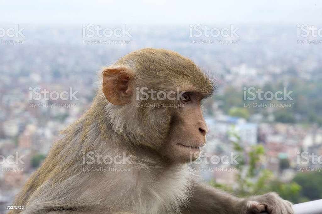 Monkey at the Swayambhunath temple in Nepal royalty-free stock photo