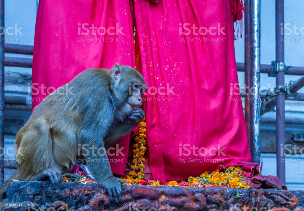 Monkey at the Temple stock photo