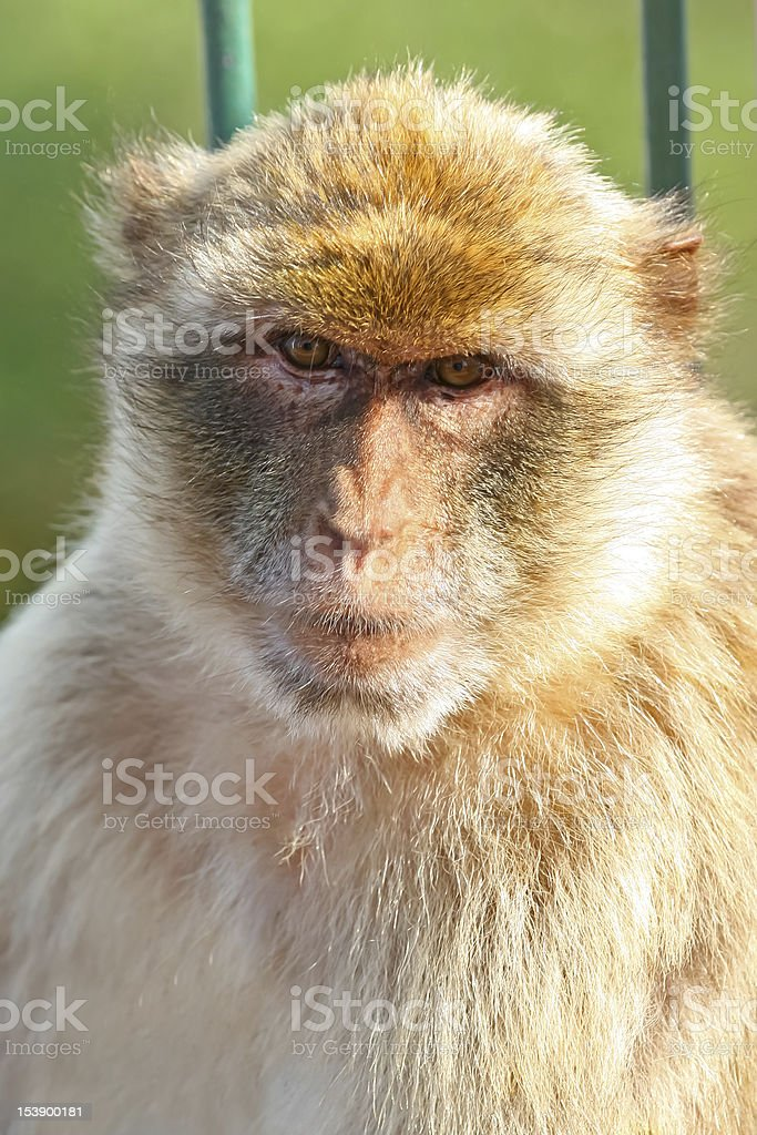 Monkey Barbary macaques stock photo