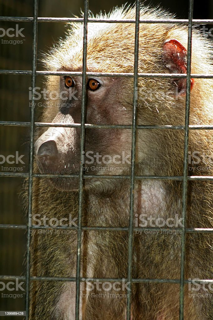 Monkey Behind Bars royalty-free stock photo