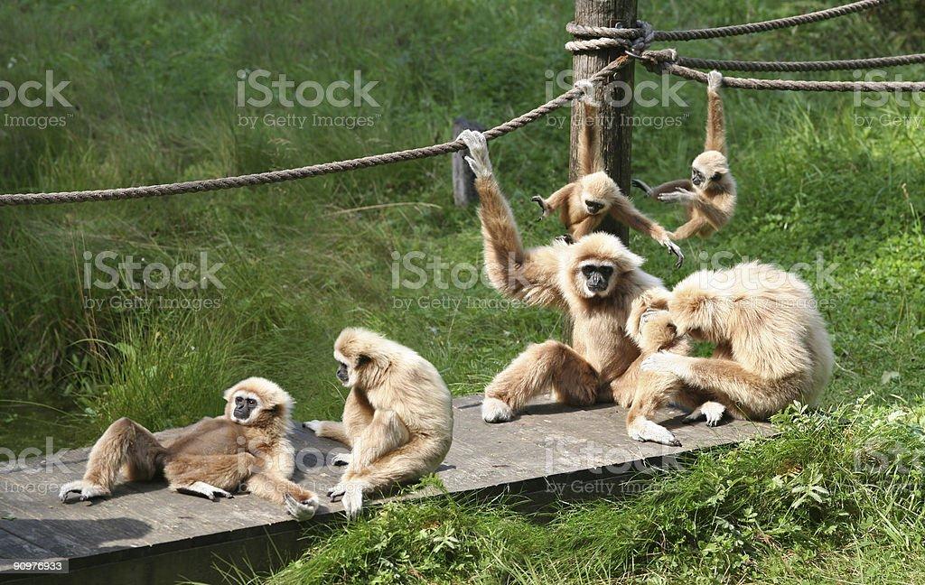 Monkey Buisness royalty-free stock photo
