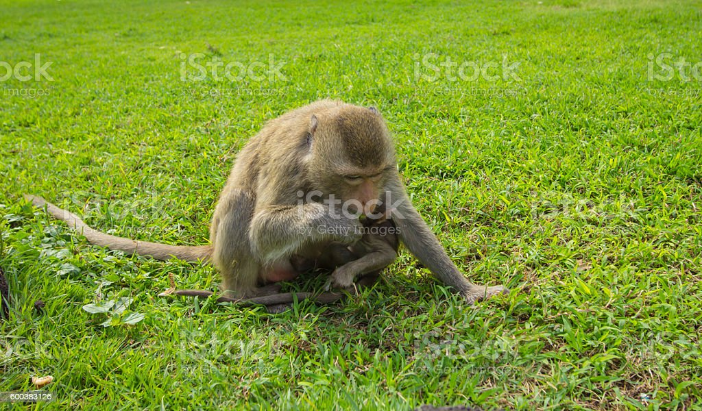 Monkey carrying her child stock photo
