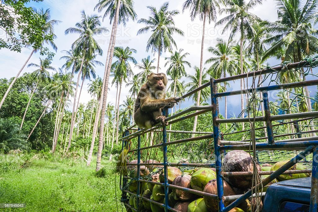 Monkey coconut gatherer sit on pickup truck stock photo