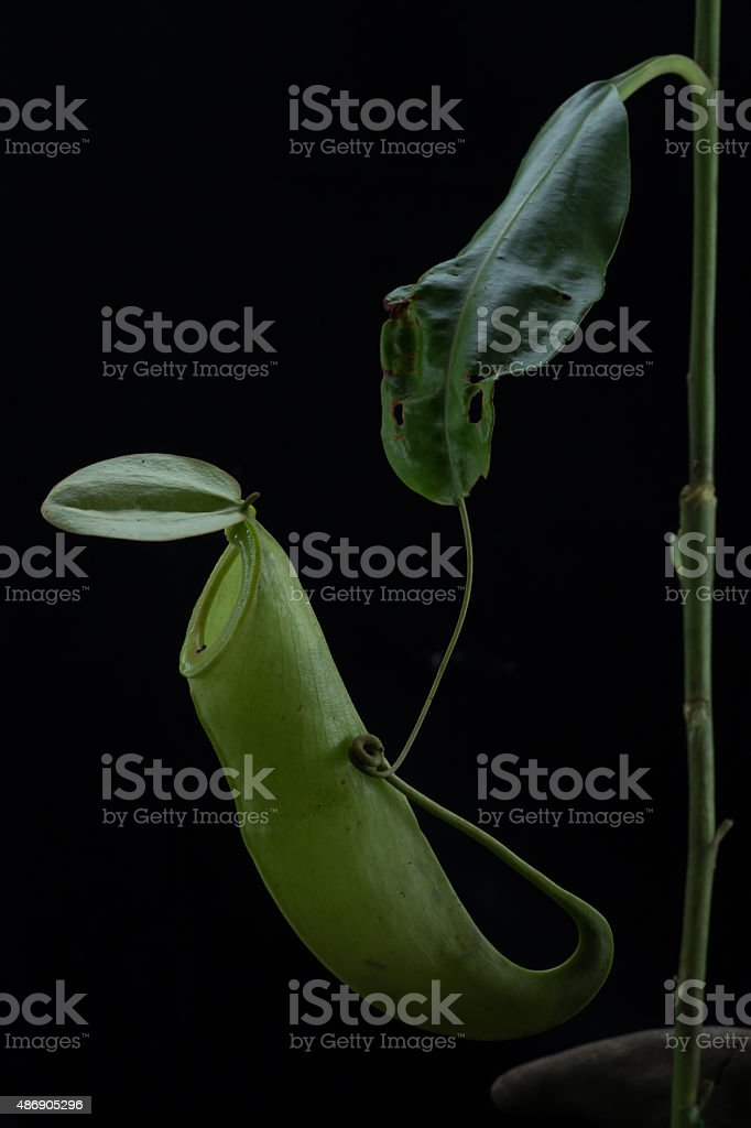 Monkey Cups - Nepenthes sp. stock photo