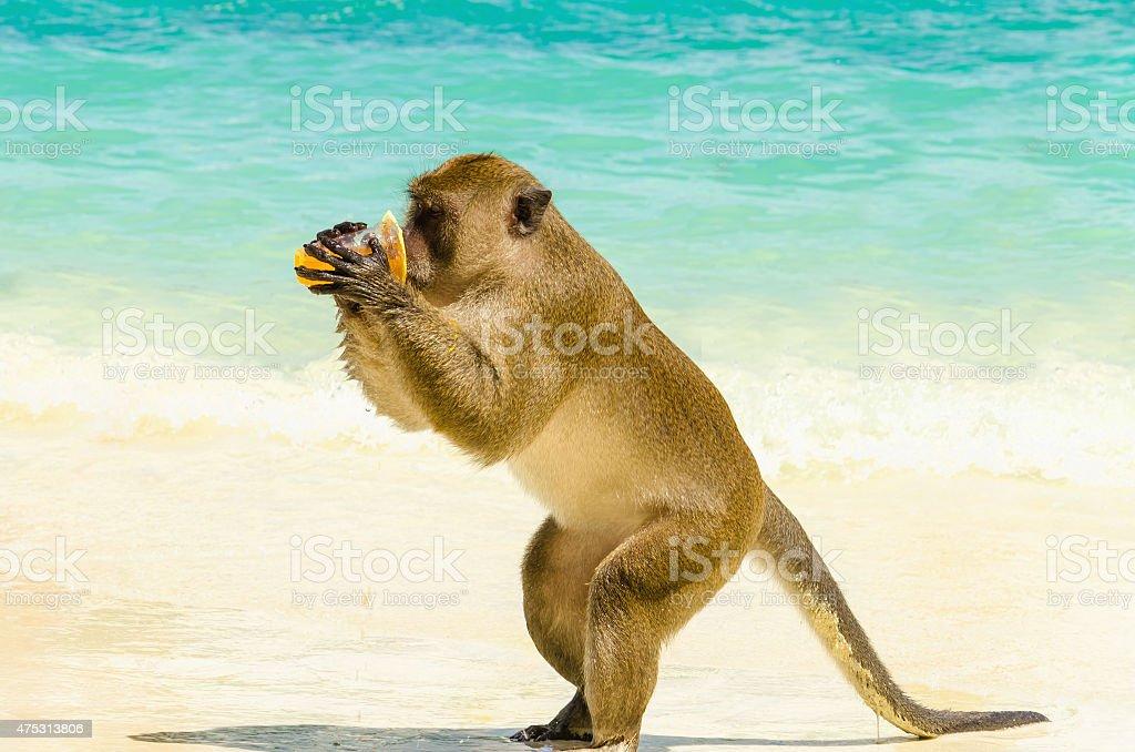 Monkey drinking juice, Thailand stock photo