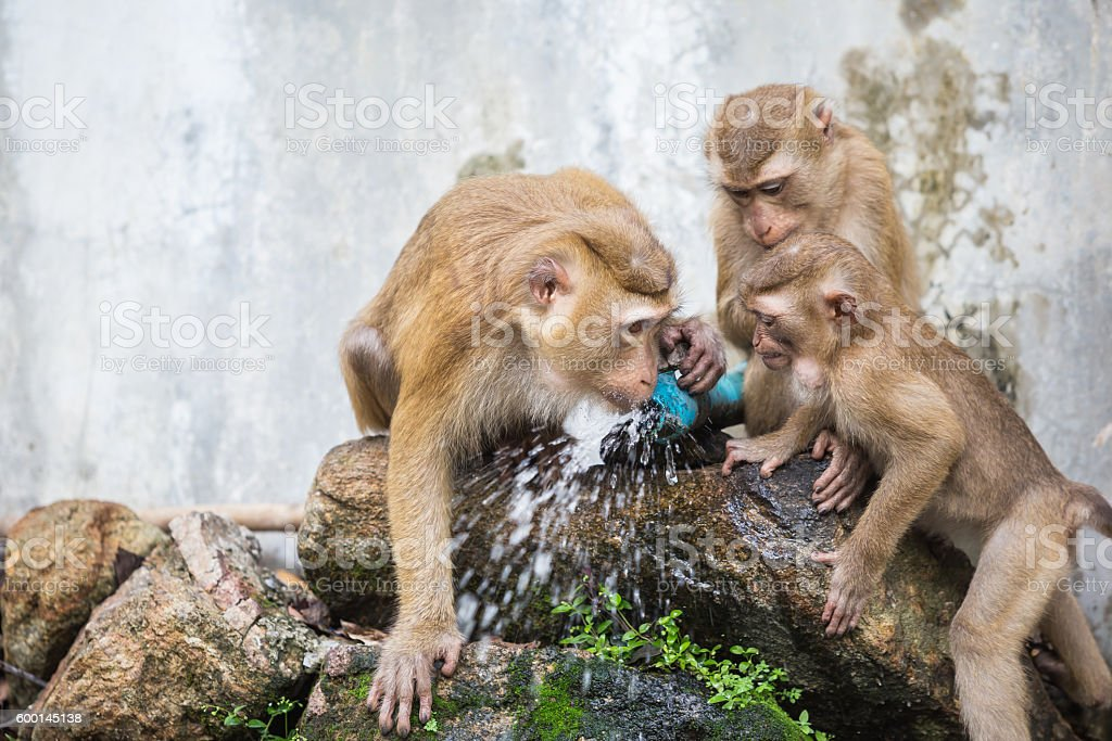 Monkey drinking water from blue pipe stock photo