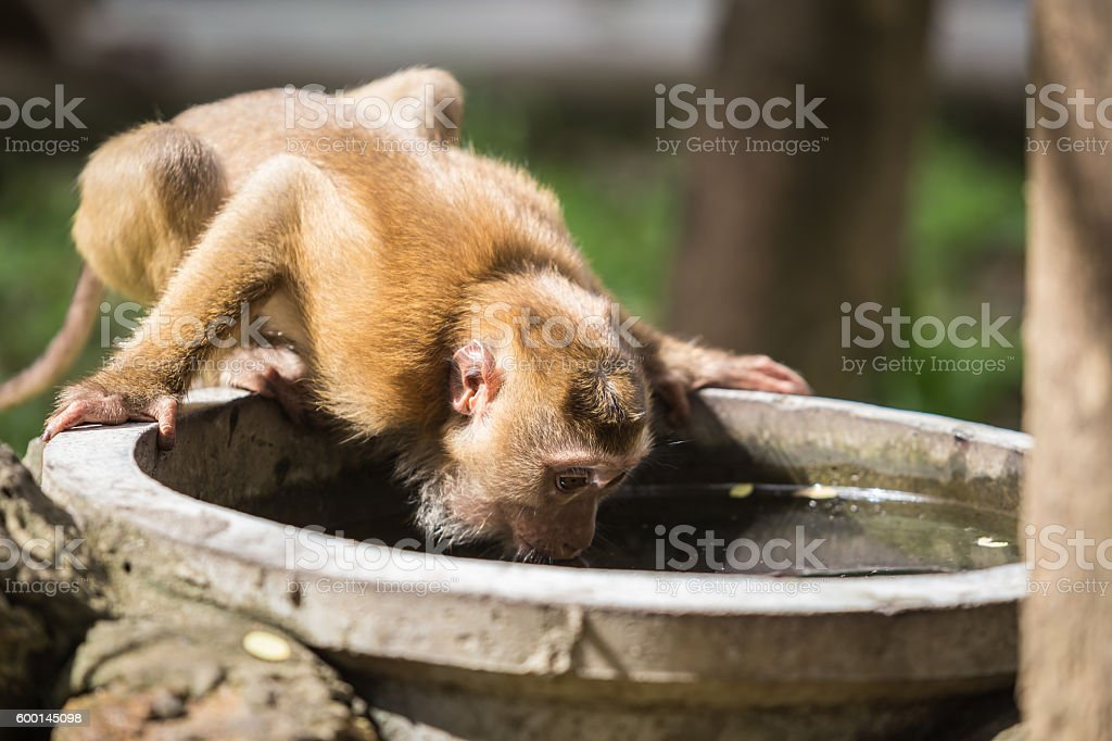 Monkey drinking water from cement pond stock photo