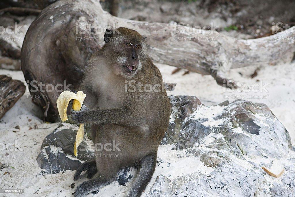 Monkey eating banana royalty-free stock photo
