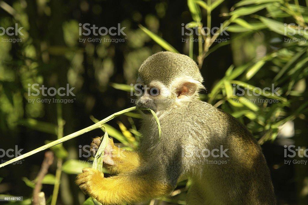 Monkey eating grass stock photo
