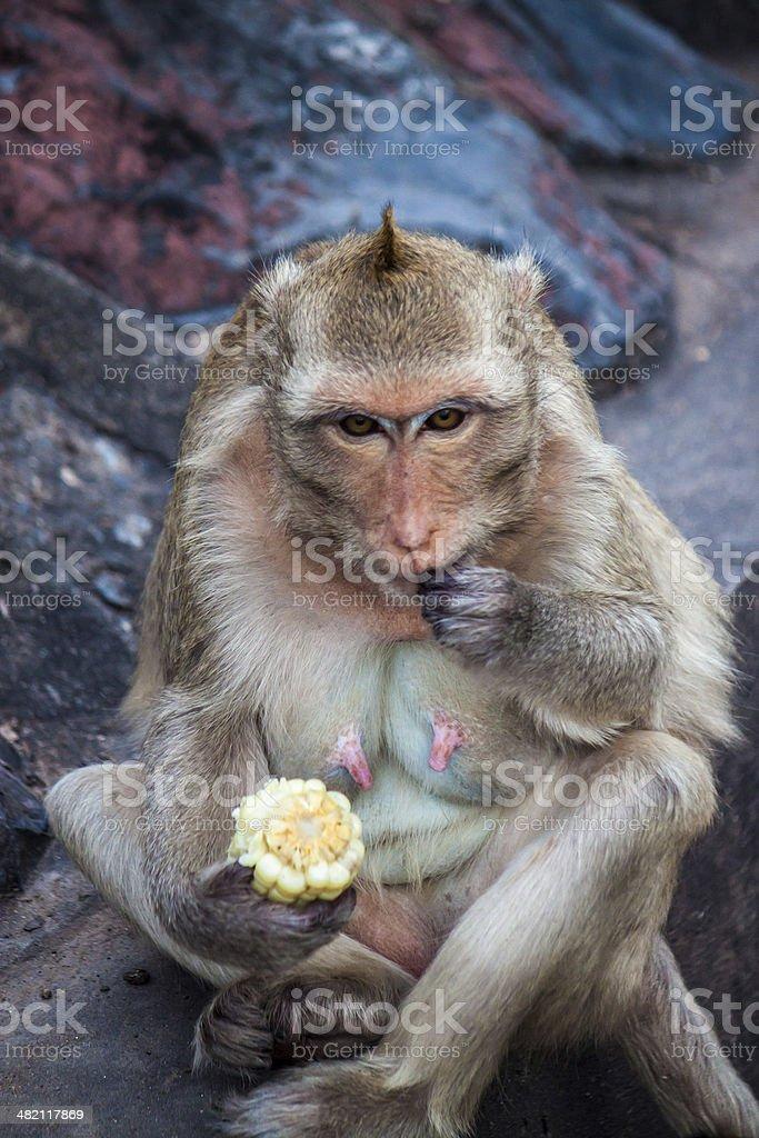 Monkey eats a corn stock photo