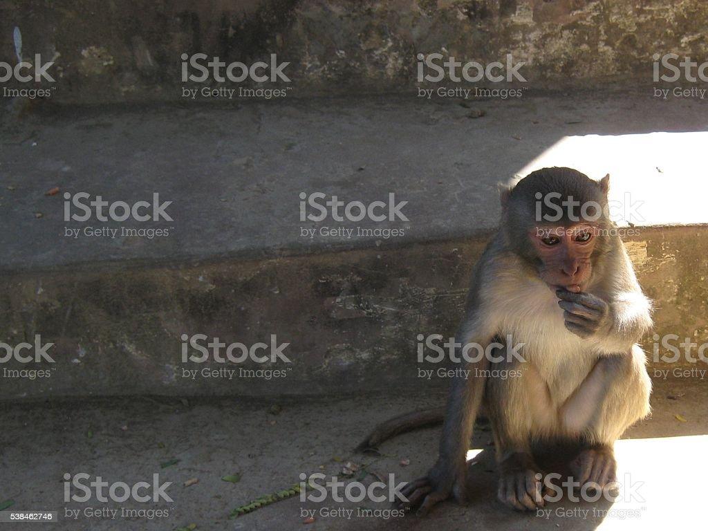 Monkey Eats a Peanut at Mount Popa, Myanmar stock photo