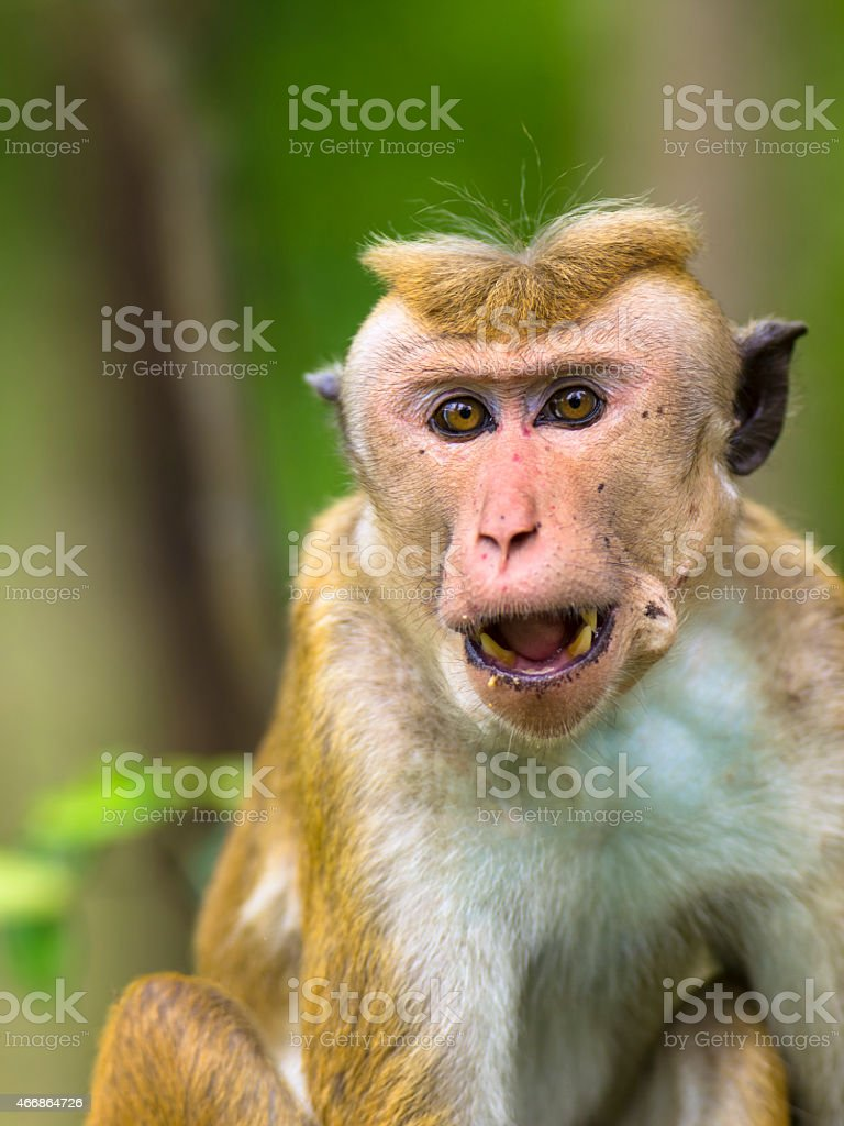 Monkey Endemic to Sri Lanka stock photo