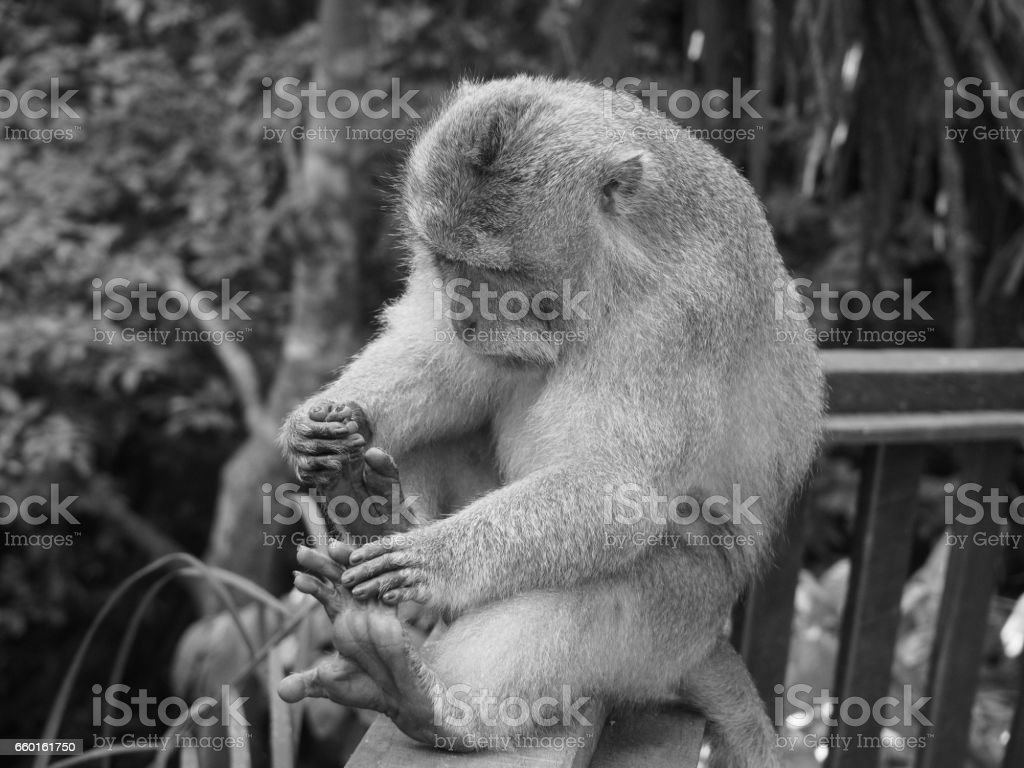 Monkey Examining Feet stock photo