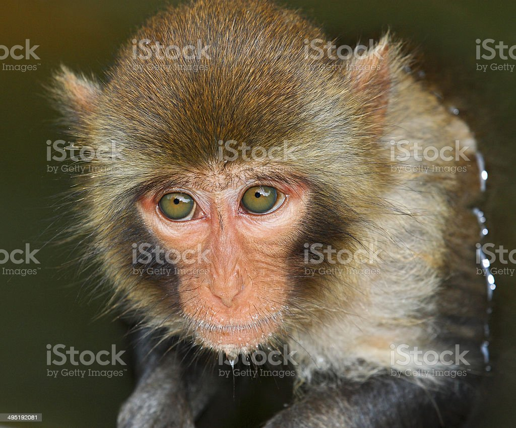 monkey expression in his eyes royalty-free stock photo